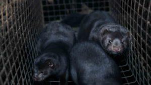 Propositions pour les élevages d'animaux sauvages pour la fourrure (visons)