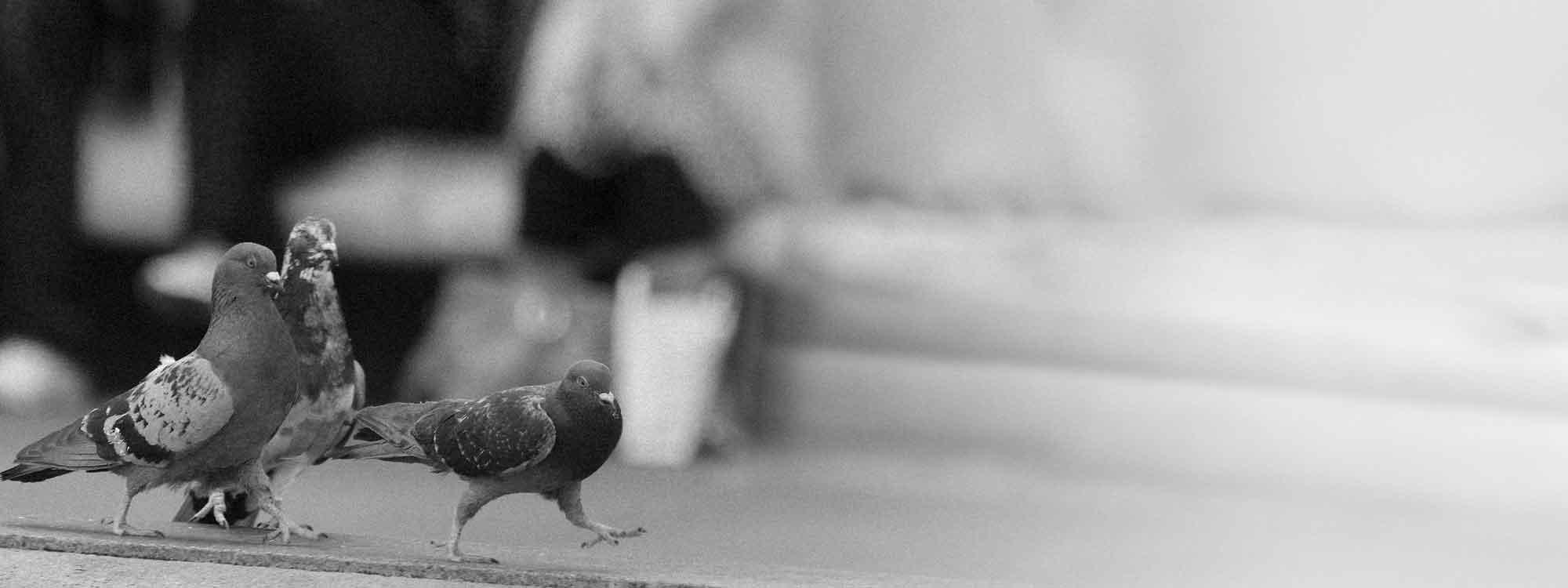 Pour une évolution de la condition des pigeons en ville