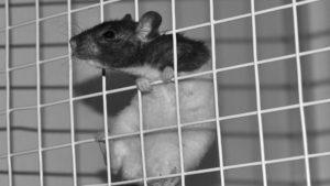 Expérimentation animale. Trop peu d'engagement